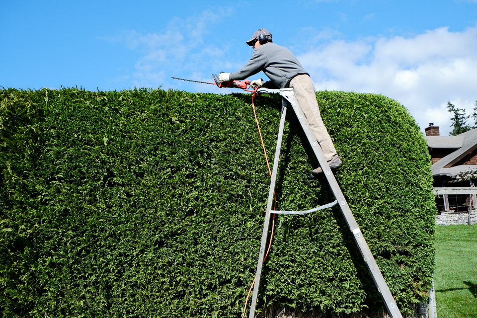Trimming High Hedge with Ladder