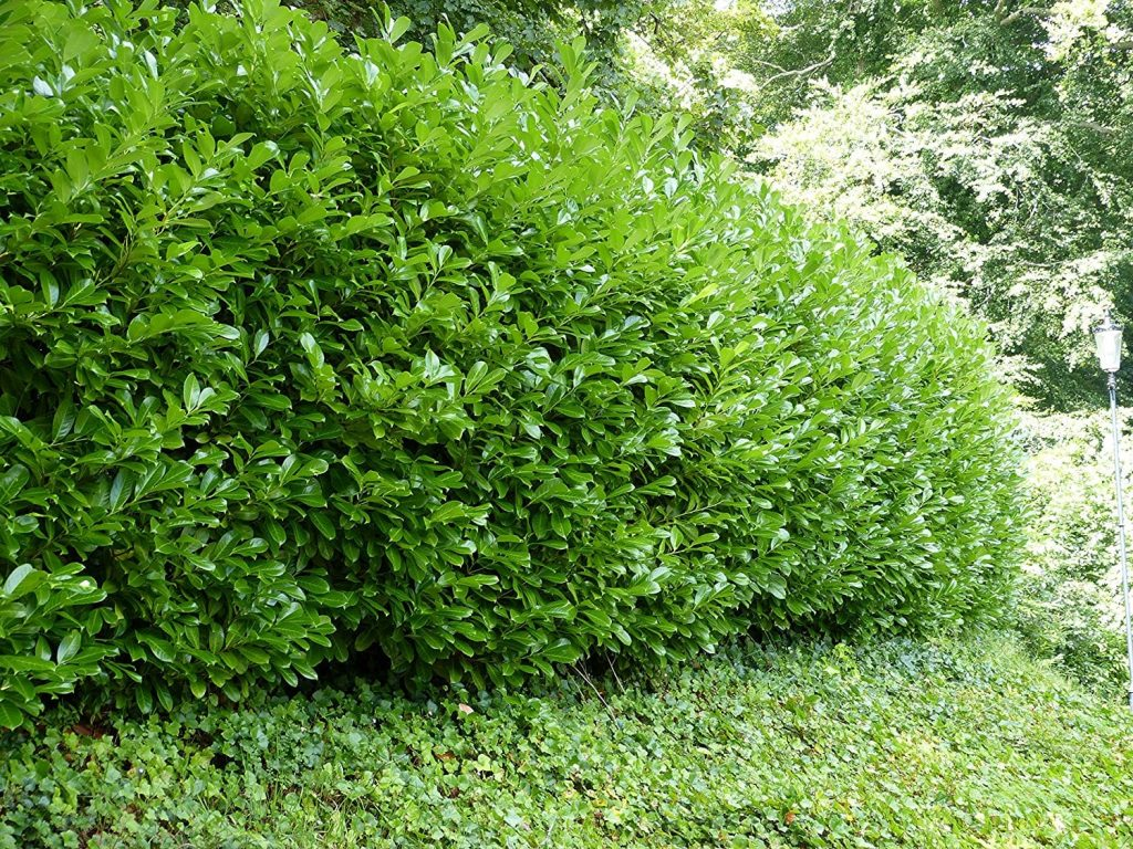 5 Green Privet Hedging Ligustrum Plants Hedge