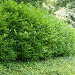 Storing Hedge Plants Through Winter