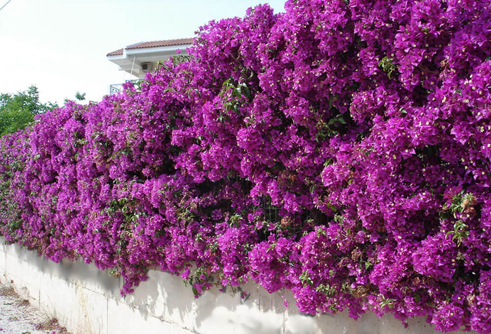 Thorny Hedges - Bougainvillea-Spectabilis