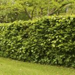 How to Properly Water Your Hedges