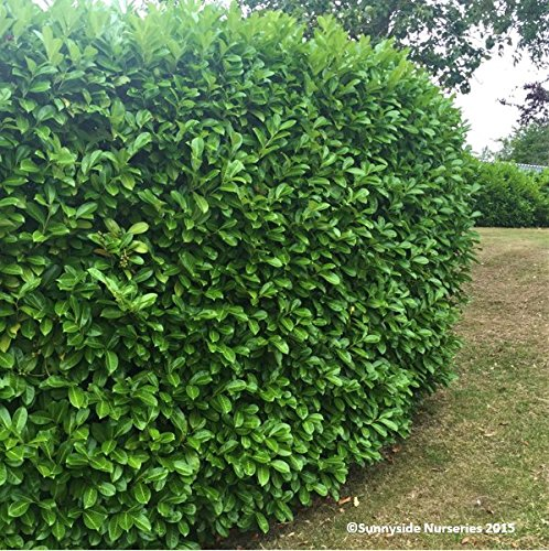 Cherry Laurel Evergreen Hedging - Fast Growing Shrubs